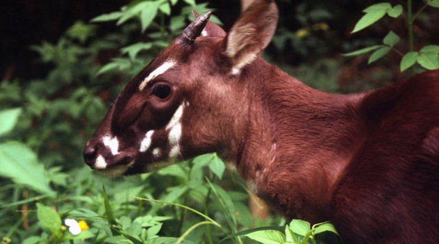 Saola, fot. David Hulse - WWF_Canon