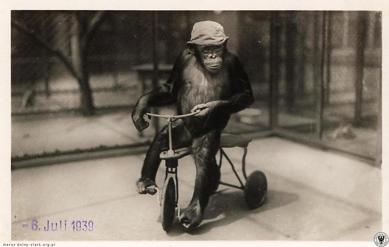 szympans Moritz w zoo w Breslau